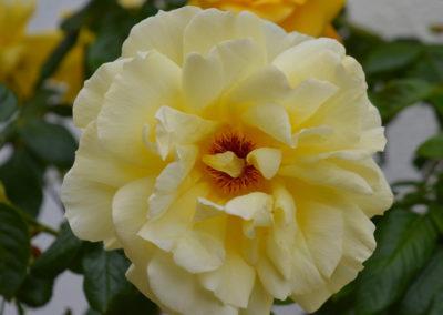 hof-zotter-feldbach-steiermark-damaszenerrosen-gelb