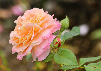 hof-zotter-feldbach-steiermark-damaszenerrosen-gelb-rosa