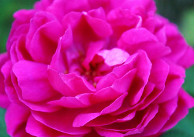 hof-zotter-feldbach-steiermark-damaszenerrosen-pink