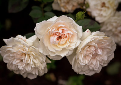 hof-zotter-feldbach-steiermark-damaszenerrosen-rosa