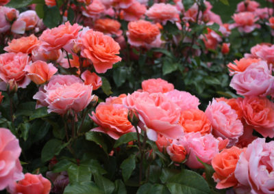 hof-zotter-feldbach-steiermark-damaszenerrosen-rosa-orange