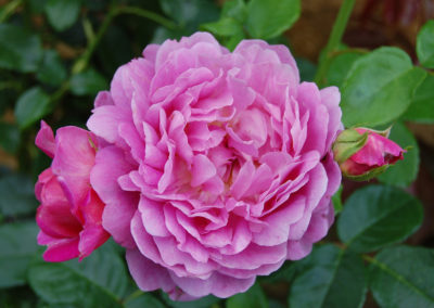 hof-zotter-feldbach-steiermark-damaszenerrosen-rose